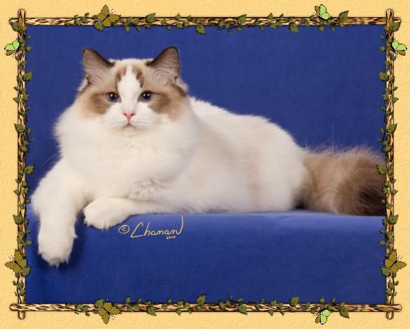 Adorablerags Ragdoll Cattery Available Kittens